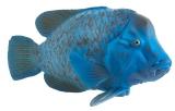 Figurina Peste - Blue Groper Mojo