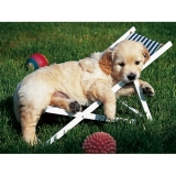 Puzzle golden retriever, 500 piese Ravensburger